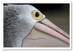 Eye of the Pelican-0542 (Barbara J H) Tags: bird wildlife australia pelican qld australianwildlife australianpelican maroochydore australiannativebird pelecanusconspicillatus birdsofaustralia barbarajh