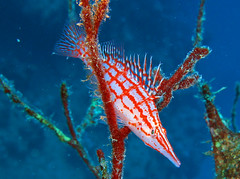 Longnose Hawkfish by prilfish, on Flickr
