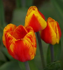 Tulip (Gloria1207) Tags: orange green yellow three tulip blurredbackground apr22 bekeh gloria1207