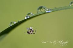 Hangin' Around (Ross Merritt Photography) Tags: detail macro green water up grass closeup reflections spider fly ross drops close bokeh web caught merritt