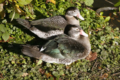 The Odd Couple (Adam Swaine) Tags: county uk england english water beautiful birds canon countryside kent britain ducks east waterside 2010 counties naturelovers wildfoul thisphotorocks adamswaine