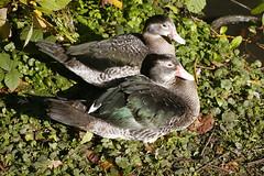 The Odd Couple (Adam Swaine) Tags: county uk england english water beautiful birds canon countryside kent britain ducks east waterside 2010 counties naturelovers wildfoul thisphotorocks adamswaine