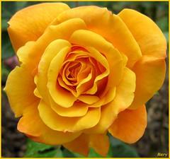 Una delle prime foto con la mia compattina ...:-))) (Finisce qui il mio viaggio..., un ciao a tutti...!) Tags: flower flora rosa giallo fiore arancio giardini parchi sentimento mariuccia fabulousphoto awesomeblossoms solofotos uccia57 sublimeflowershot sublimerose