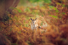 standing out (andrew evans.) Tags: morning autumn trees england nature fairytale forest sunrise countryside kent woods nikon bokeh wildlife deer ethereal wonderland storybook magical f28 enchanted d3 400mm