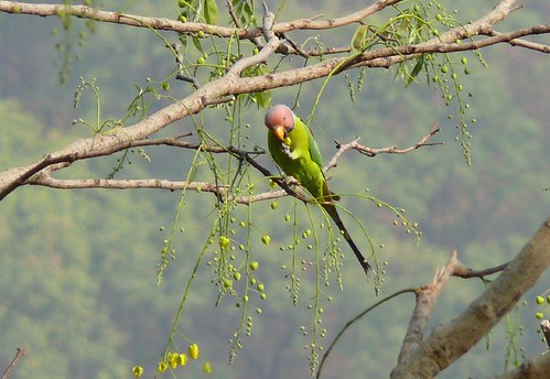 Blossom Headed Parakeet At Lunch