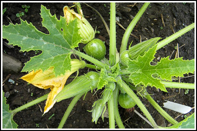green courgettes copy