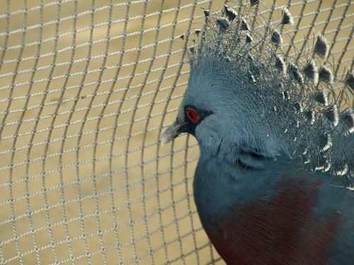 カンムリバト crown pigeon