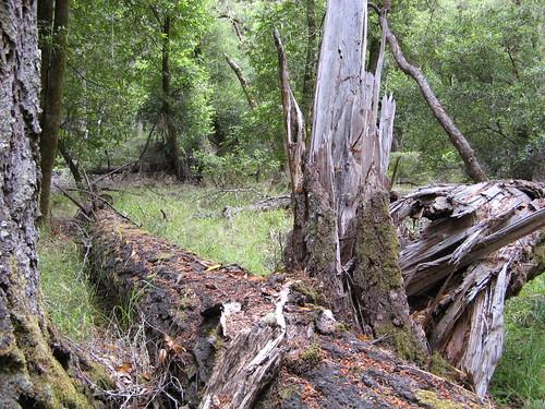 Old, fallen trees