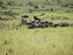 - Wildebeest in the Serengeti (spartan_puma) Tags: africa tanzania wildlife serengeti gnu wildebeest
