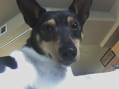 Haha.  I'm higher than you. (strimble) Tags: cameraphone ivy ratterrier