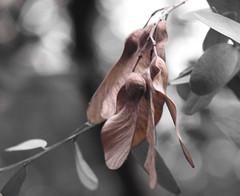 Different.... ( Popotito ) Tags: naturaleza tree nature leaves hojas arbol seeds explore semillas naturesfinest coloraccent supershot abigfave searchandreward