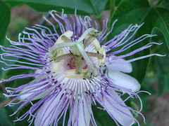 Passionfruit flower with ants - by Martin LaBar