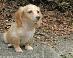 Watchful waiting (Doxieone) Tags: dog cute english puppy long watching cream dachshund honey blond blonde sweetie pup haired coll doxie longhaired 10weeks honeydog englishcream mistressofherdomain honeyset