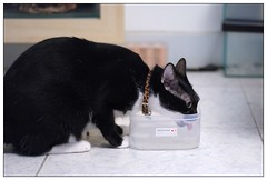 (Walt T) Tags: pet cute cat nikon kitten kitty kittens tuxedo  50mm18  d80 kissablekat cwcc camfma thebiggestgroupwithonlycats cmcnc