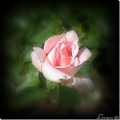 ROSE (Lara-queen) Tags: flower nature fleur rose quynhvu wonderfulworldofflowers flowersarebeautifu laraqueen rememberthatmomentlevel4 rememberthatmomentlevel1 rememberthatmomentlevel2 rememberthatmomentlevel3