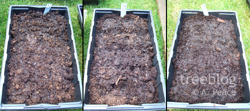 the seed trays. left to right: cider gum; Scots pine; mystery seeds