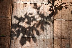 Shades of Shadows (Gali-Dana) Tags: shadow tree fig jerusalem shade  figue      galidana