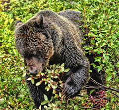 A Berry Eater (Jeff Clow) Tags: bear vacation canada wildlife grizzly lakelouise albertacanada banffnationalpark naturesfinest gapr