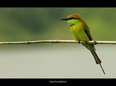 GreenBee Eater.. (Vijay..) Tags: green bird composition canon bokeh rule floraandfauna thirds nagpur 380 beeeater 70300 explored vijayphulwadhawa