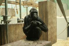 Gorilla / Mountain gorilla