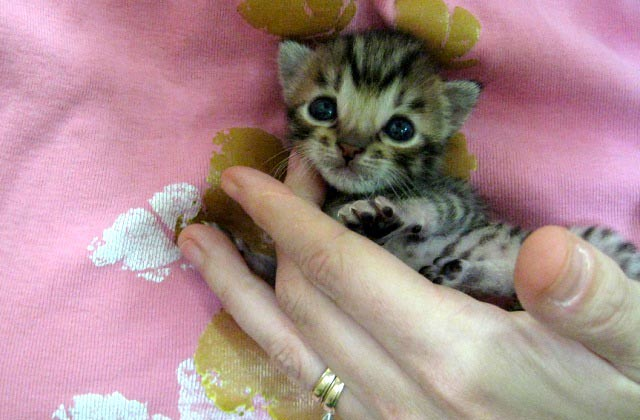 cute bengal kitten