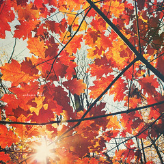 Autumn oaks (greenicadesign) Tags: autumn light red sun tree fall oak