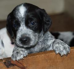 dog puppy australiancattledog