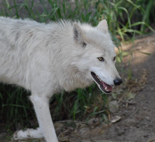 Timber Wolf at the Calgary Zoo ©Colin Hill