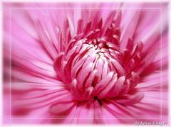 ~Something for Mum~ ~~ (Kelvin Wong (Away)) Tags: pink flower macro nature daisy piscesromance