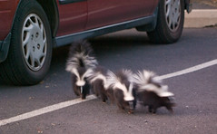 Baby Skunks (and gunshots) (nebarnix) Tags: park animals babies moscow wildlife berman skunks