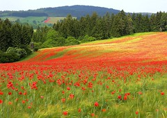 Poppy  fields (Linda6769) Tags: road red flower tree green field germany landscape thringen corn woods village hill hunting grain meadow thuringia explore poppy perch blume wildflower landschaft raisedstand conifer hochsitz mohn mohnblume thuringian wildblume nadelbaum wiedersbach konifere explored jgerstand huntersstand huntersperch huntersperch huntersperch hunters raisdestand