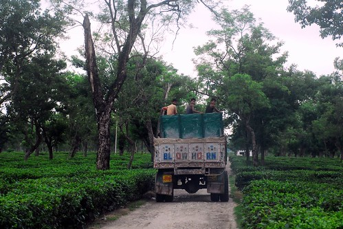 Tea Planations, Siliguri, West Bengal