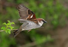 (#35) Introduced Pest (tinyfishy (Gone to Cuba)) Tags: house bird flying inflight sparrow