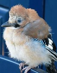 Eurasian Jay - by Dutchnatasja