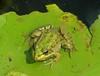 my prince (elisabatiz) Tags: green nature animal frog explore ~vivid~