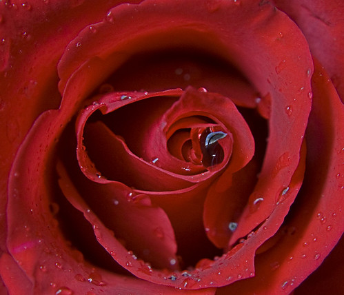 images of roses with rain drops. RAIN DROP IN SHADED MAPLE LEAF!I LOVE LIFE!