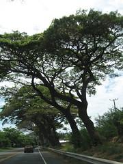 Day6 : Maui - Tree Canopy (Amudha Irudayam) Tags: tree beach hawaii maui canopy amudha honoapiilani