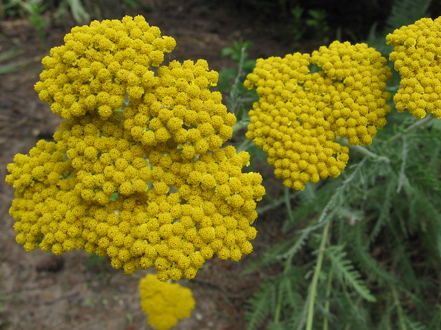Marigold 6