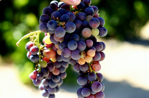 grapes from the vine