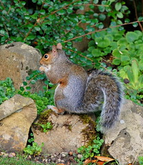 Squirrel in my Rockery