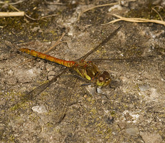 """Common Darter Dragonfly (Sympetrum s(46) • <a style=""""font-size:0.8em;"""" href=""""http://www.flickr.com/photos/57024565@N00/1304287862/"""" target=""""_blank"""">View on Flickr</a>"""