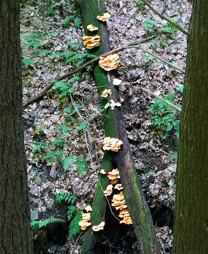 chicken mushroom log