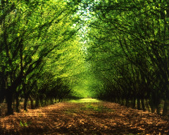 A world apart among the hazelnuts (Zeb Andrews) Tags: trees green oregon spring colorful grove doubleexposure surreal multipleexposure pacificnorthwest woodburn fujivelvia pentax67 thinkoutsidethebox bluemooncamera zebandrews zebandrewsphotography