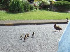 duck rescue 6