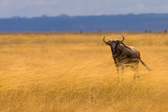 [ NOT ] Gone With The Wind (| HD |) Tags: africa wild 20d animal canon wind kenya wildlife windy safari beast hd darwish hamad wilder savanna wwwhamaddarwishcom