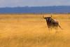 [ NOT ] Gone With The Wind (| HD |) Tags: africa wild 20d animal canon wind kenya wildlife windy safari beast hd darwish hamad wilder savanna wwwhamaddarwishcom