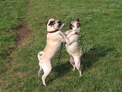 Ziggy & Emma (Kerri Tapp) Tags: dog dogs puppy pups puppies pug pup pugs
