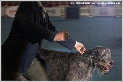 Irish Wolfhound im Showring