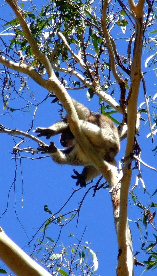 awkward koala