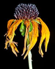 My garden on November 1 - dried up rudbeckia flower (tiredyda) Tags: flowers plants garden rudbeckia november1